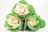Brassica White 3-pack