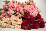 Sprayroses 5-pack