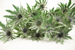 Thistle Orion 5- pack